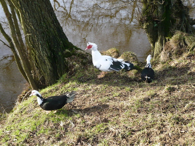 Muscovy Ducks on the bank of the River Esk