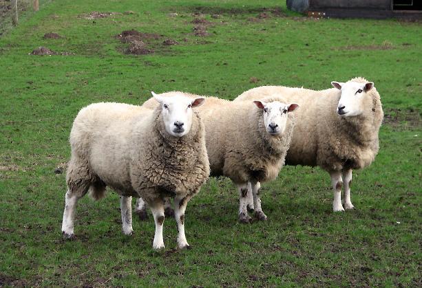 Three sheep in a row