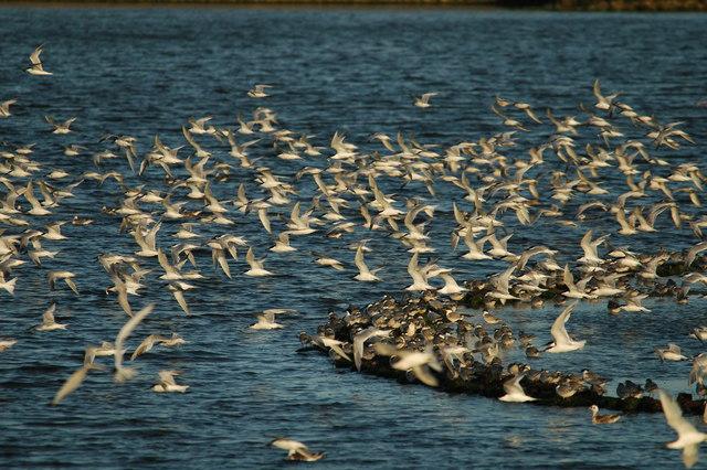 Terns at Cemlyn