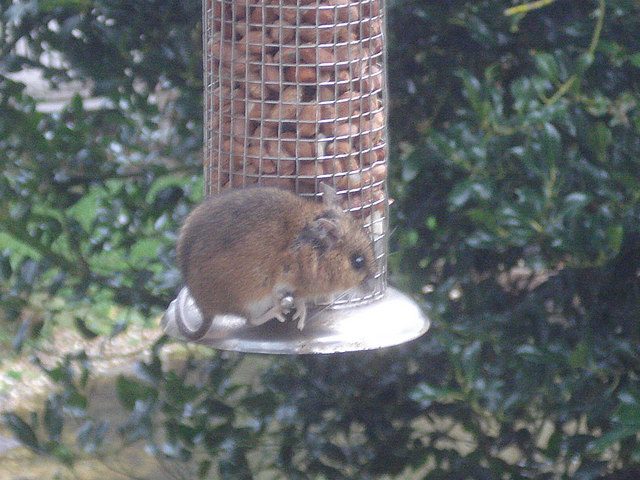 Wood mouse in our garden