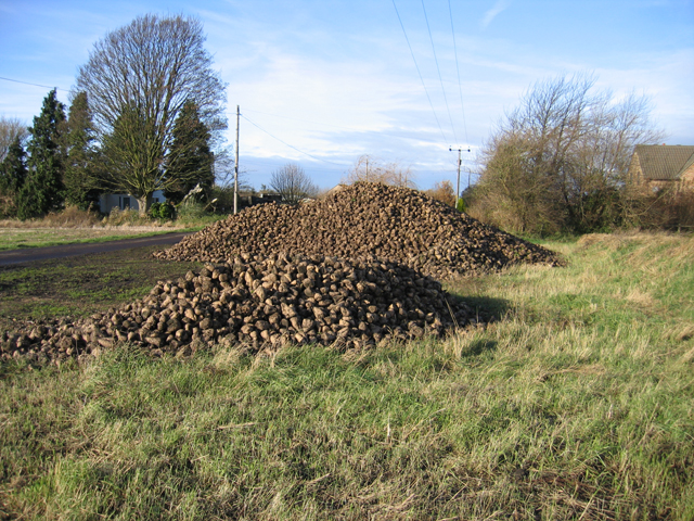 Harvested sugar beet in Coveney Byall Fen, Cambs
