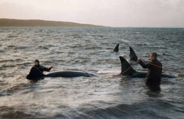 Rescuing Killer Whales (Orcinus orca) at Uyeasound