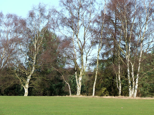Birch Trees on Enville Golf Course, Staffordshire