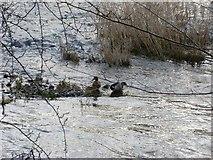 NS5666 : Ducks bathing in River Kelvin by Stephen Sweeney