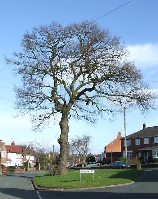 """Oak Tree (winter) on """"Royal"""" Estate, Penn, Wolverhampton"""