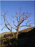 NY5305 : Dead Tree, Borrow Beck by Michael Graham