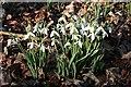 NJ6862 : Snowdrops (Galanthus nivalis) by Anne Burgess