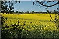 SO7892 : Oil-seed Rape in bloom near Claverley by Row17