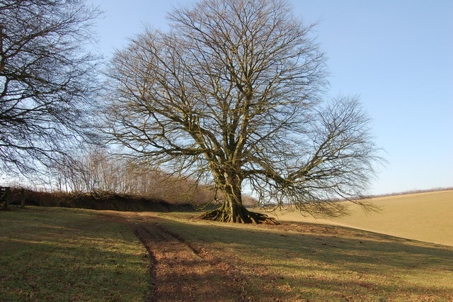 Beech tree next to footpath