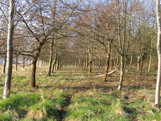 Deciduous plantation strip at Cowick Farm, Hilmarton, Wilts