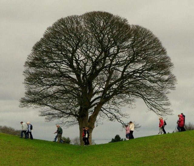Rambling Oak Tree, Giant's Ring, Belfast