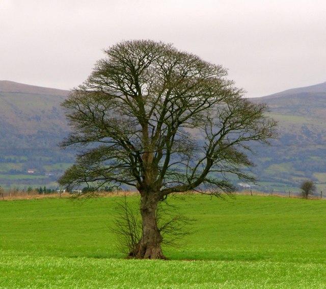 Tree near the Giant's Ring, Belfast