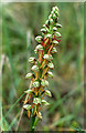 TR3557 : Man Orchid (Orchis anthropophorum), Sandwich Bay by Mike Pennington
