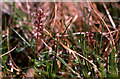 HP6013 : Lesser Twayblade (Listera cordata), Hermaness by Mike Pennington