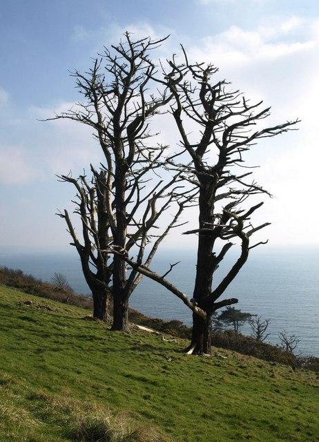Dead trees above Stoke Beach