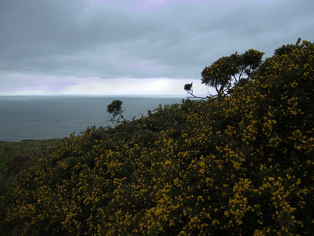Emerging from gorse