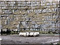 NY6406 : A Huddle of Sheep by Mike and Kirsty Grundy