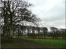 N9511 : Beeches and sheep by Jonathan Billinger