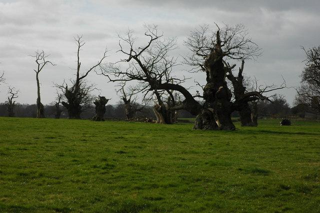 Old oak trees, Home Farm, Forthampton