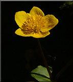 SJ3999 : Marsh Marigold (Caltha palustris), Melling by Mike Pennington