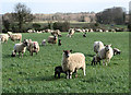 TG2226 : Lambs galore by Evelyn Simak