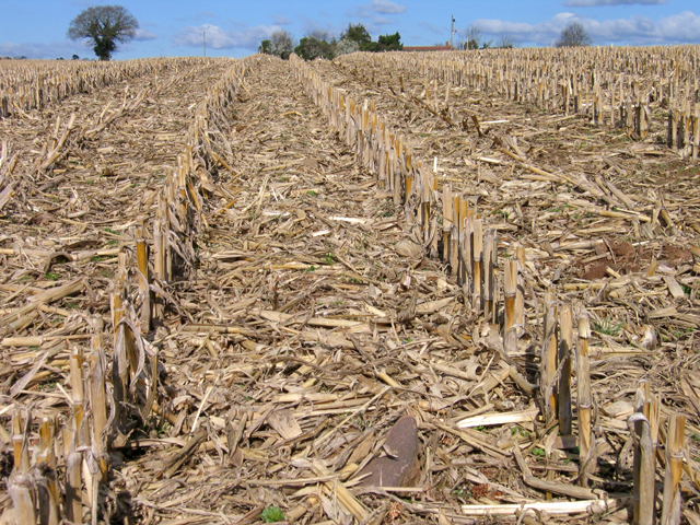 Grain maize stubble