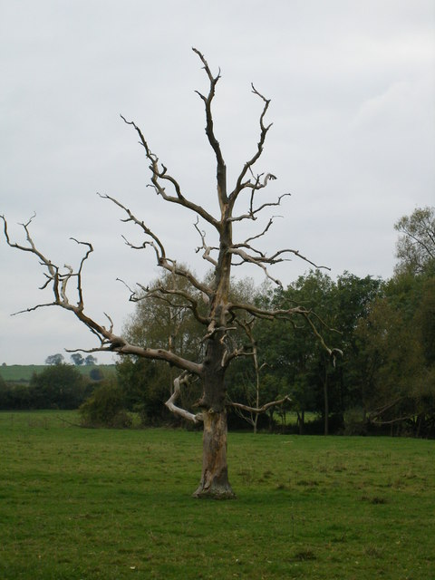 Dead tree in field by the River Thame