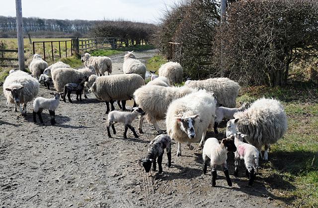 Sheep and Lambs on Track near Goswick