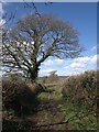 SX8979 : Tree alongside Chudleigh Bridleway 3 by Derek Harper