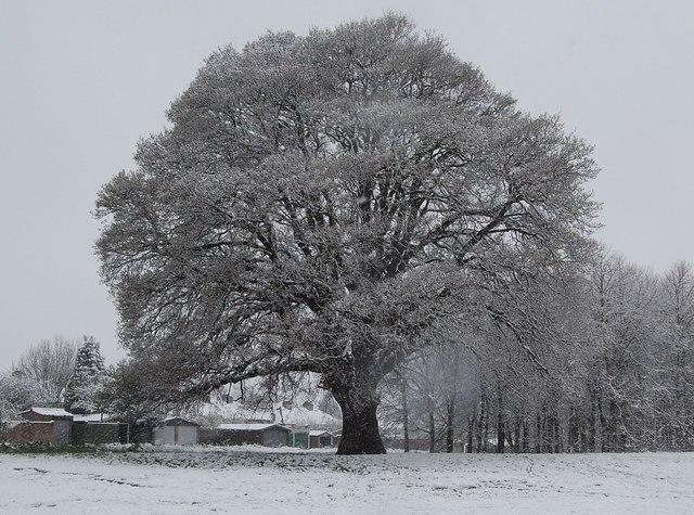 Oak tree in the snow