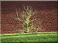 SX8561 : Tree on Higher Ramshill Lane by Derek Harper