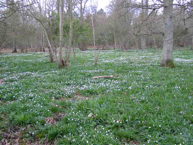 Carpet of  Wood Anemone in Bourne Wood
