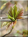 TG2030 : Sycamore - Stages of opening leaf buds (2) by Evelyn Simak