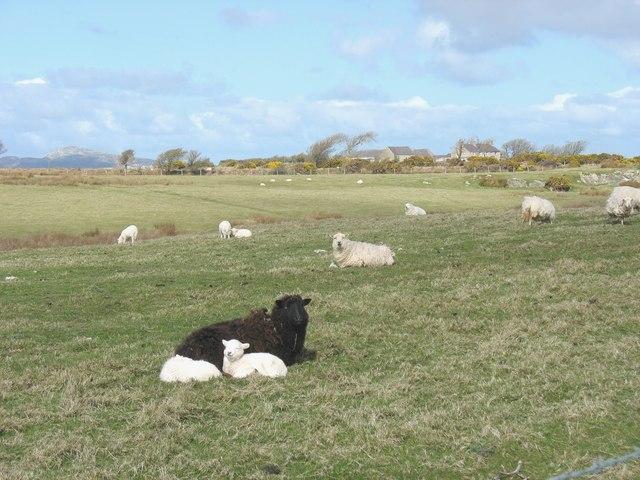 Sheep on grazing land at Plas Farm