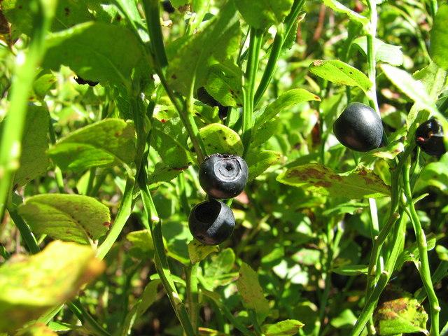 Wild bilberries on Bottom Moor