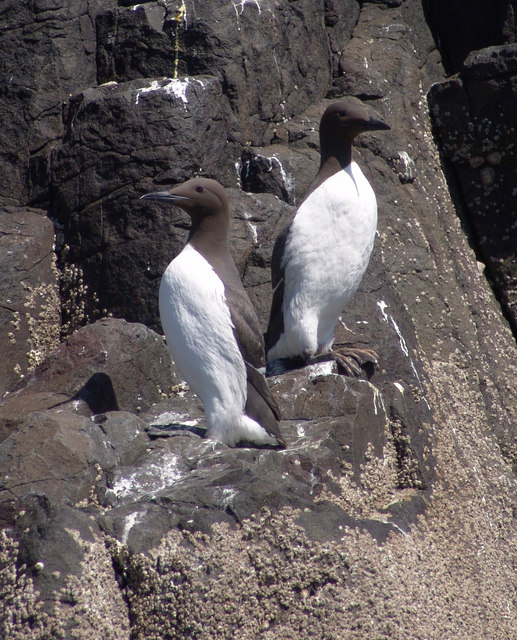 A pair of Guillemots