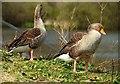 J4774 : Geese, Kiltonga, Newtownards (2) by Albert Bridge