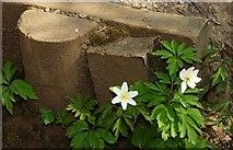 J4772 : Wood anemone, Killynether Wood (2) by Albert Bridge