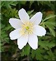 NJ3357 : Wood Anemone (Anemone nemorosa) by Anne Burgess