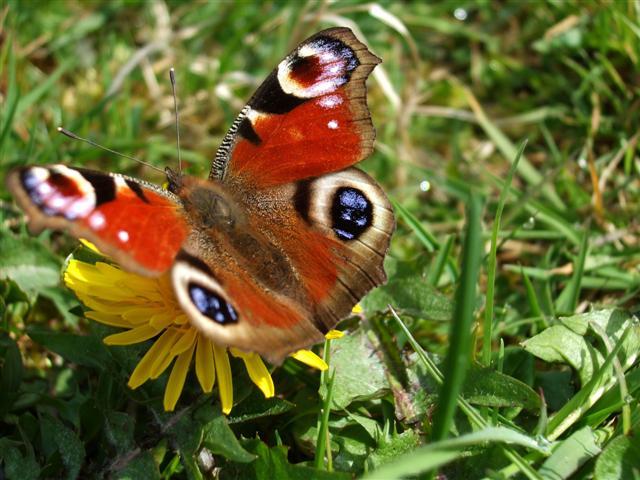 Butterfly Genus Species - Peacock