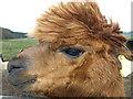 NT9503 : Alpacas at Wood Hall farm by wfmillar