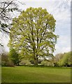 SU2610 : Oak tree coming into leaf at Newtown by Peter Facey