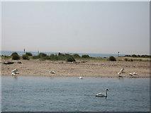 SZ1891 : Swans on Mudeford spit by Sandy B