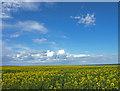NU2506 : Field of rape, near Warkworth by wfmillar