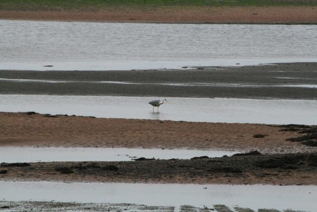 Heron Fishing the Esk Estuary