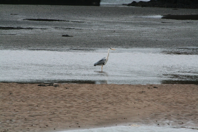 Heron Fishing the Esk Estuary (2)
