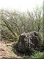 TG0630 : Fallen tree by Evelyn Simak