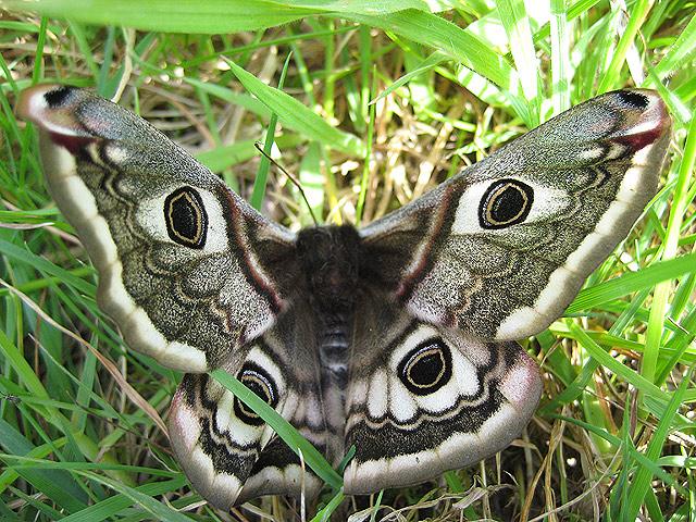 Female Emperor Moth