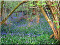 ST6150 : Bluebells in Emborough Grove by Sharon Loxton