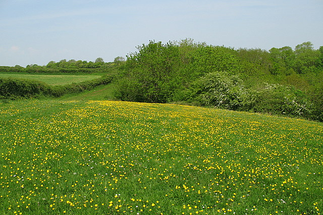 Buttercups at the top of the valley